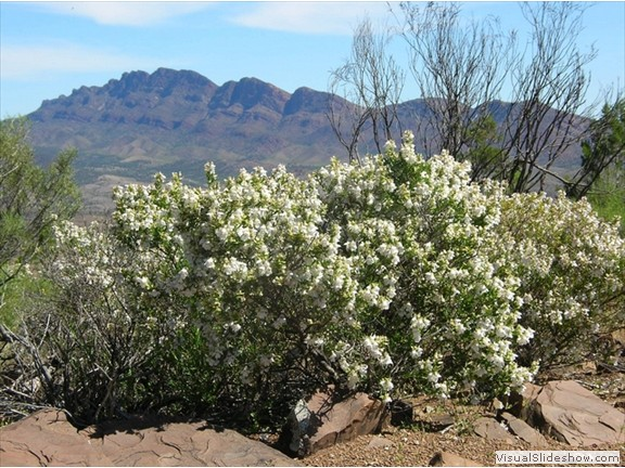 Spring in the Flinders Ranges 2010